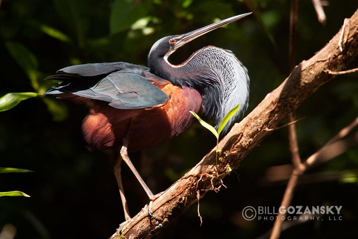 Agami Heron or Chestnut-bellied Heron - La Laguna del Lagarto Lodge, Boca Tapada, San Carlos, Costa Rica