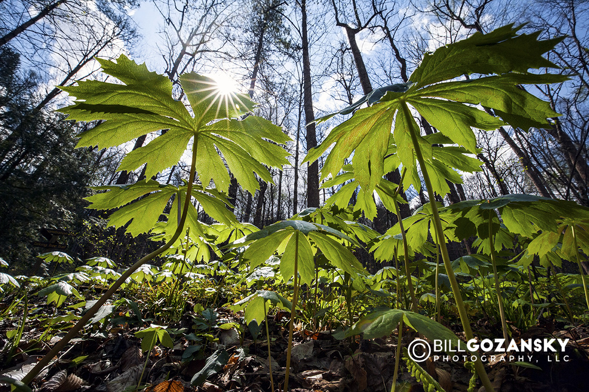 Mayapple (Podophyllum peltatum) - Holmes Educational State Forest, Hendersonville, North Carolina, USA
