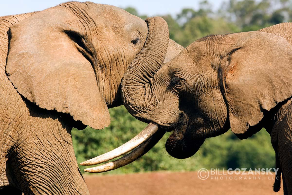 Elephants - Aberdares National Park, Kenya, Africa