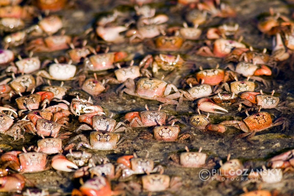 Fiddler Crabs - Sanibel Island, Florida, USA