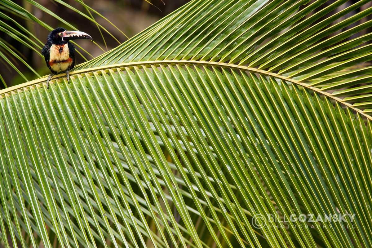 Collared Aracari – Boca Tapada, San Carlos, Costa Rica