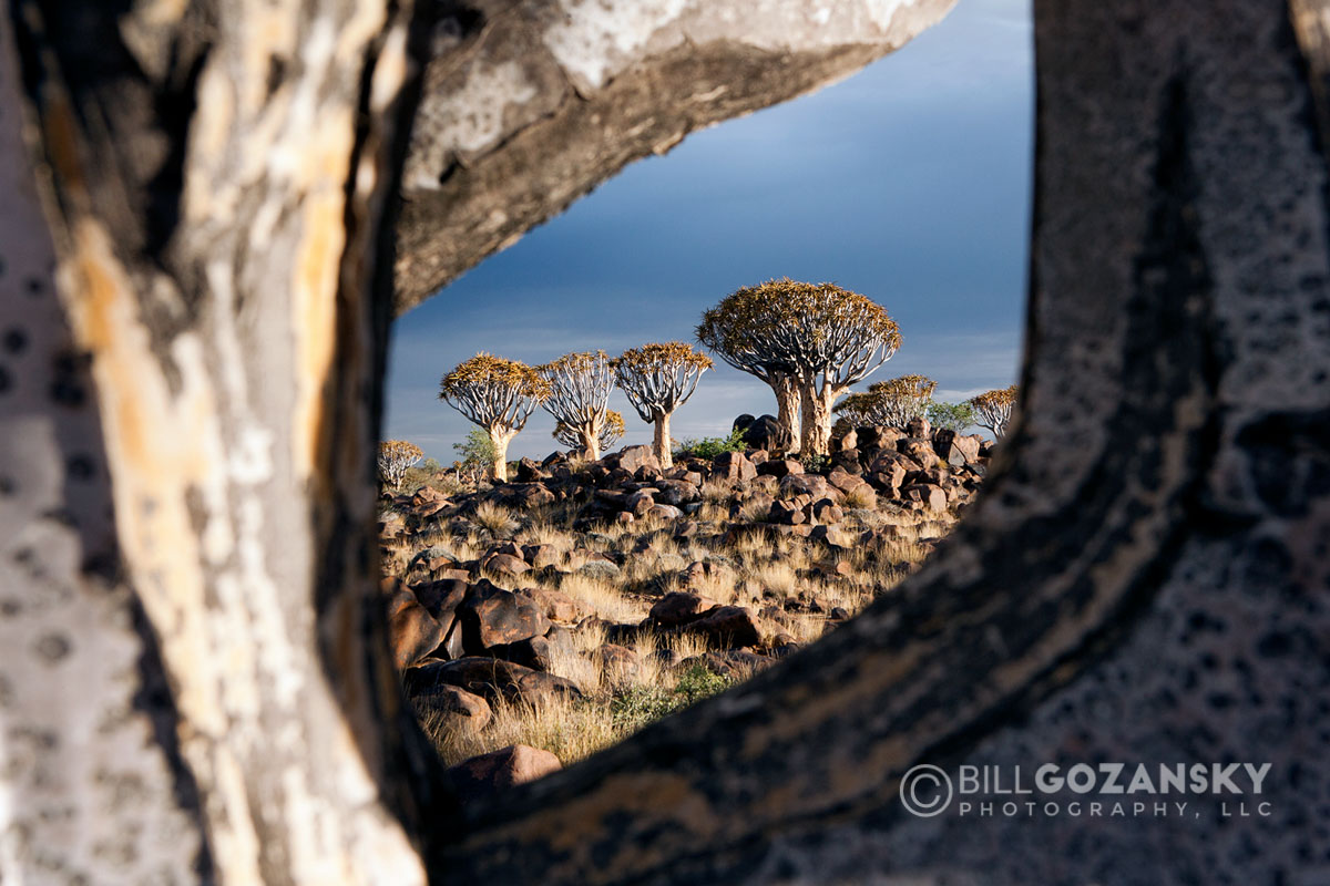 Quiver Tree (Aloe dichotoma) Forest - Keetmanshoop, Namibia, Africa