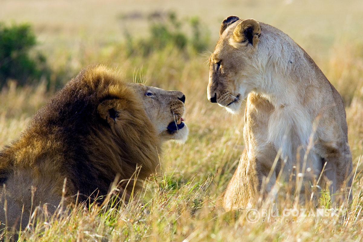 Lion Couple - Masai Mara National Reserve, Kenya, Africa