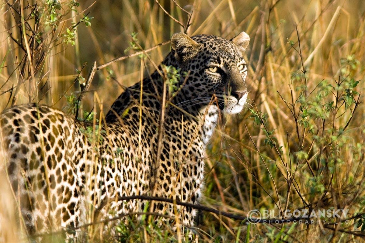 Leopard - Masai Mara National Reserve, Kenya, Africa