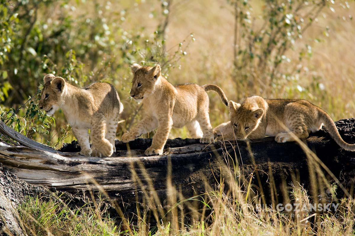 Young Lion Cubs - Masai Mara National Reserve, Kenya, Africa