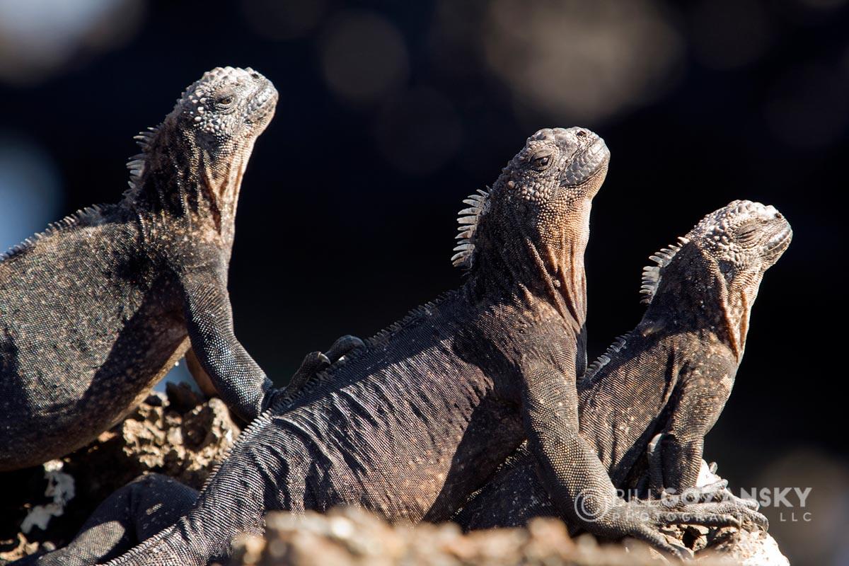 Marine Iguanas - Galapagos Islands, Ecuador