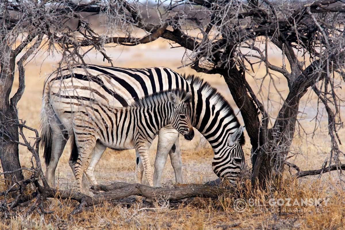 Burchell's Zebra (Equus Quagga Burchellii) – Etosha National Park – Namibia, Africa