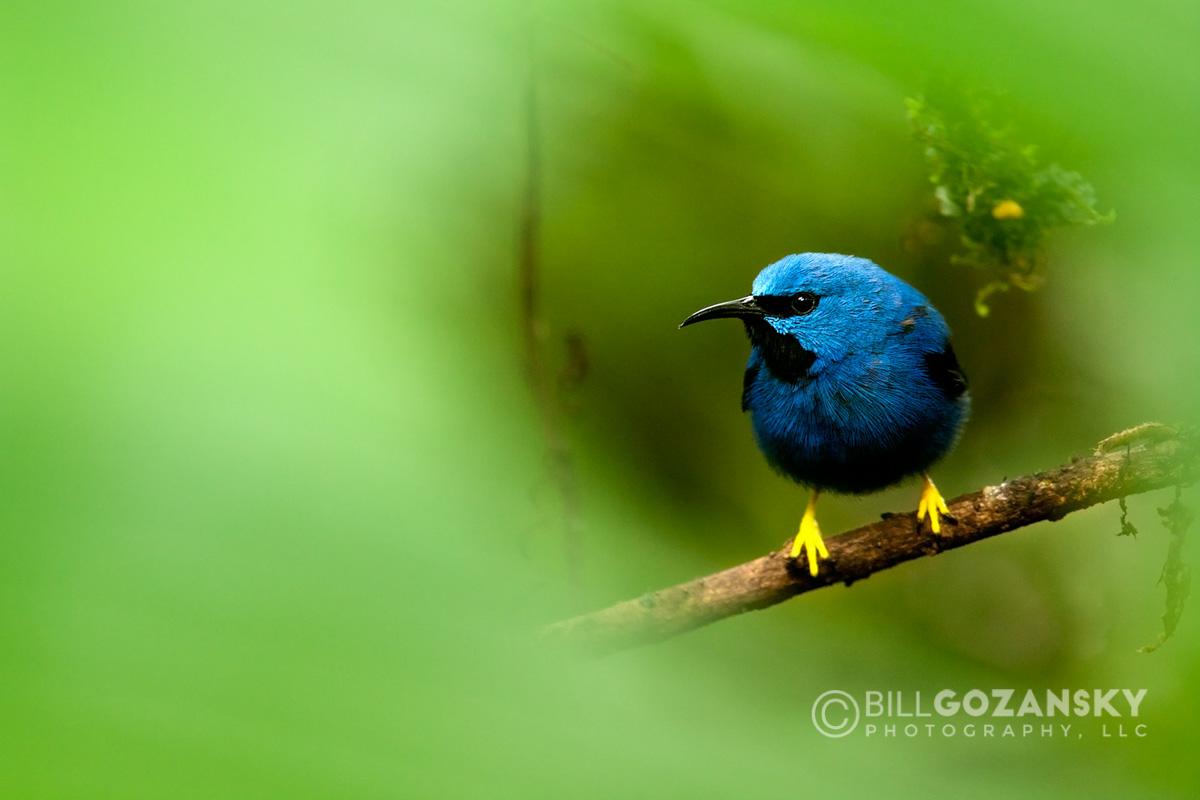 Shining Honeycreeper (Male) - Boca Tapada, San Carlos; Costa Rica