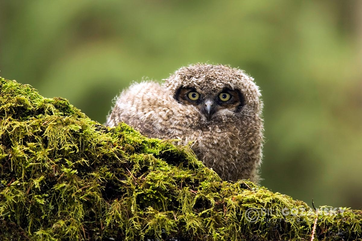 Great Horned Owl (Juvenile) - Camano Island, Washington, USA