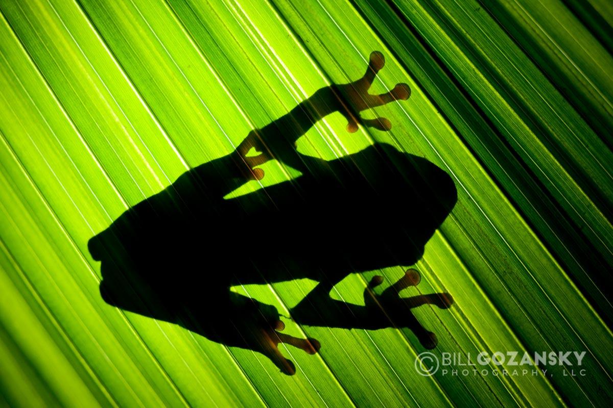 Shadow of Red-eyed Tree Frog through Leaf - La Laguna del Lagarto Lodge - Boca Tapada, San Carlos, Costa Rica