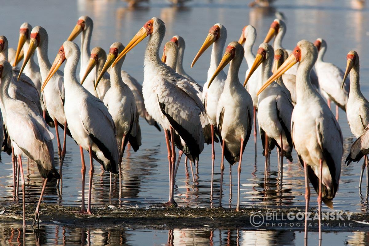 Yellow-billed Storks - Lake Nakuru National Park, Kenya, Africa