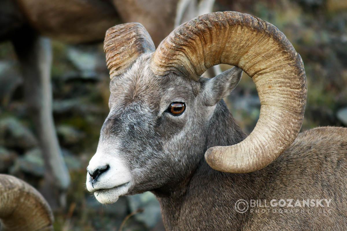 Rocky Mountain Bighorn Sheep (Ovis canadensis) - Rocky Mountain National Park, Colorado, USA