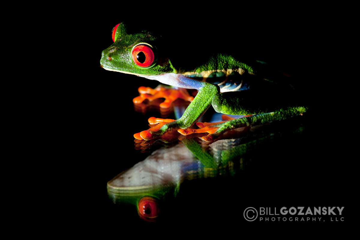 Red-eyed Tree Frog - La Laguna del Lagarto Lodge - Boca Tapada, San Carlos, Costa Rica