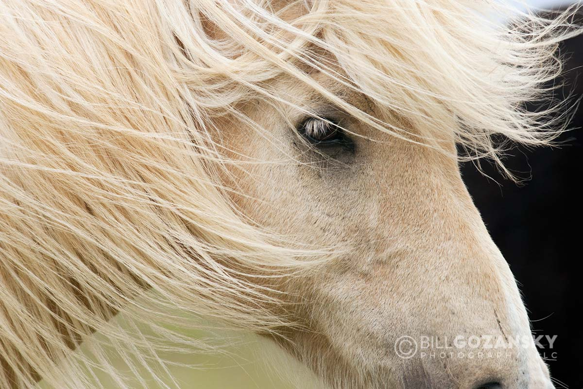 Close-up of Icelandic Horse - Iceland
