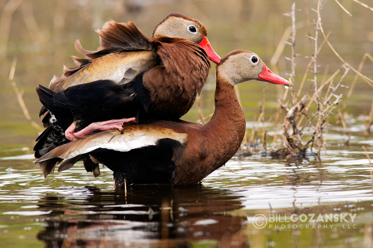 Black-Bellied Whistling-Ducks Mating - Camp Lula Sams - Brownsville, Texas USA