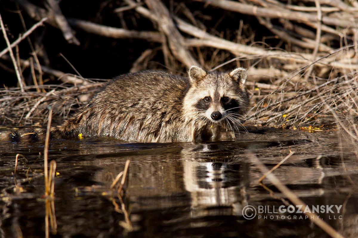 Raccoon - Camp Lula Sams - Brownsville, Texas USA