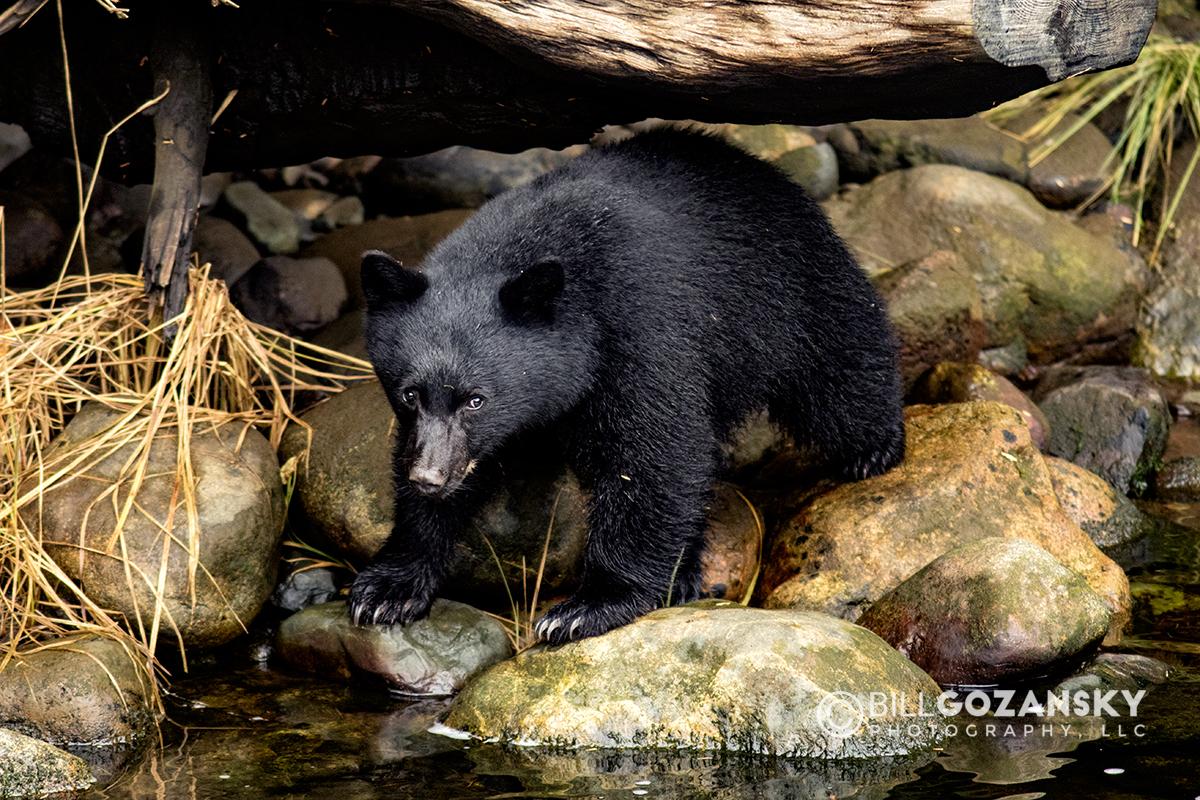 American Black Bear (Ursus Americanus) - Thornton Creek Hatchery, Ucluelet, Vancouver Island, British Columbia, Canada