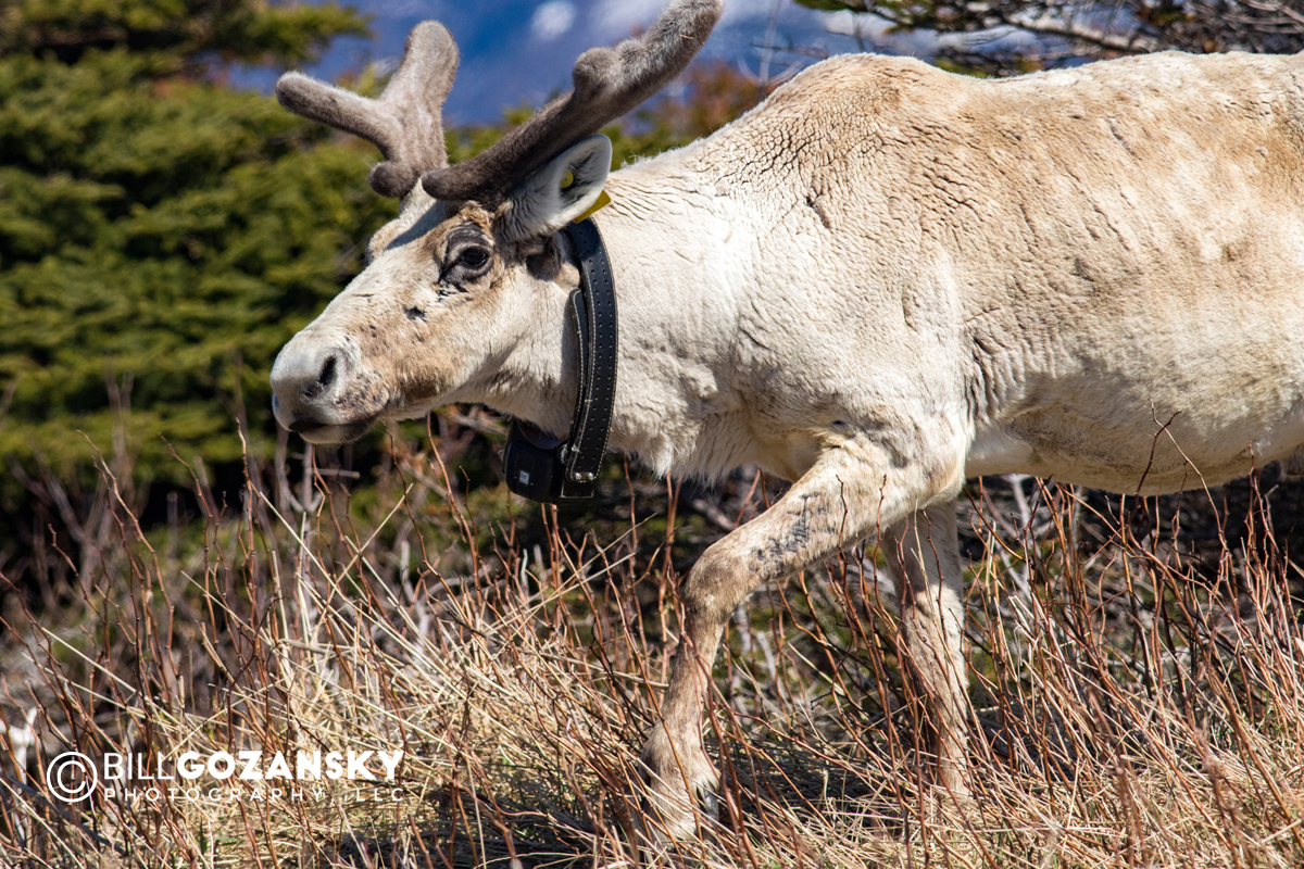 Close-up of Caribou with tracking collar - Gros Morne National Park, Newfoundland, Canada