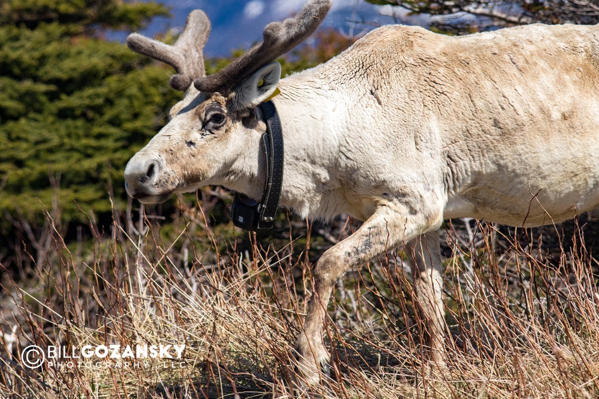 Close-up of Caribou with tracking collar - Gros Morne National Park, Newfoundland, Canada
